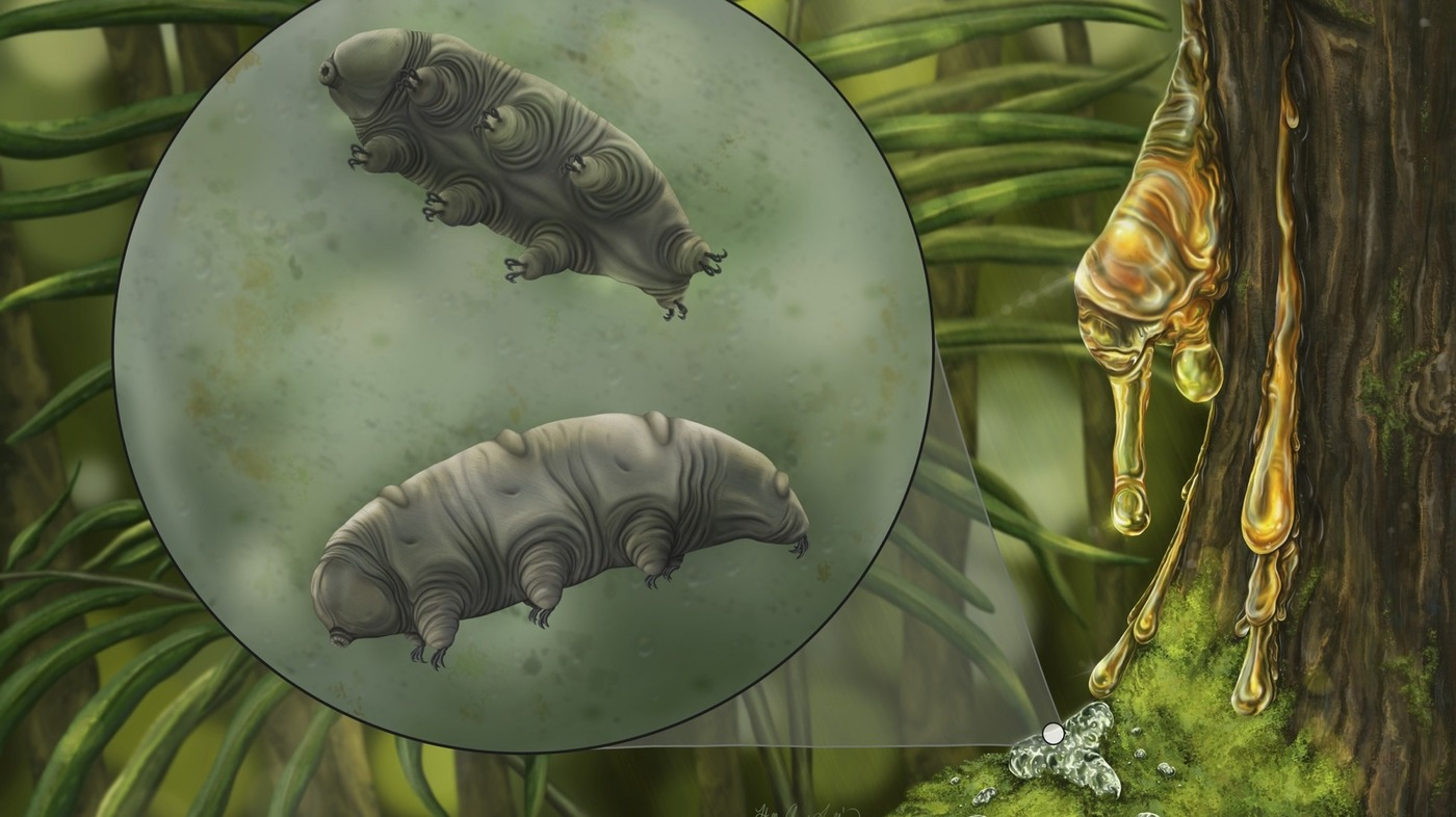 Researchers found a new species of water bear fossilized in a hunk of ancient amber
