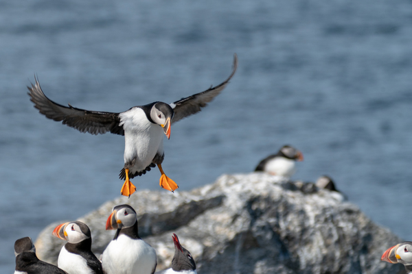 Puffins on Eastern Egg Rock.