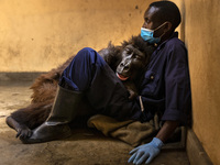 Orphaned mountain gorilla Ndakasi lies in the arms of her caregiver Andre Bauma on Sept. 21, shortly before her death.