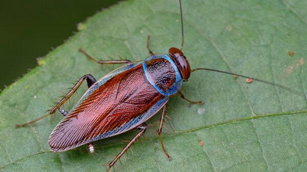 A blue stripe cockroach (Pseudophyllodromia sp.) on a leaf.