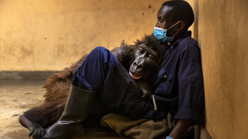 Opinion: A gorilla's life and death, in 2 viral photos