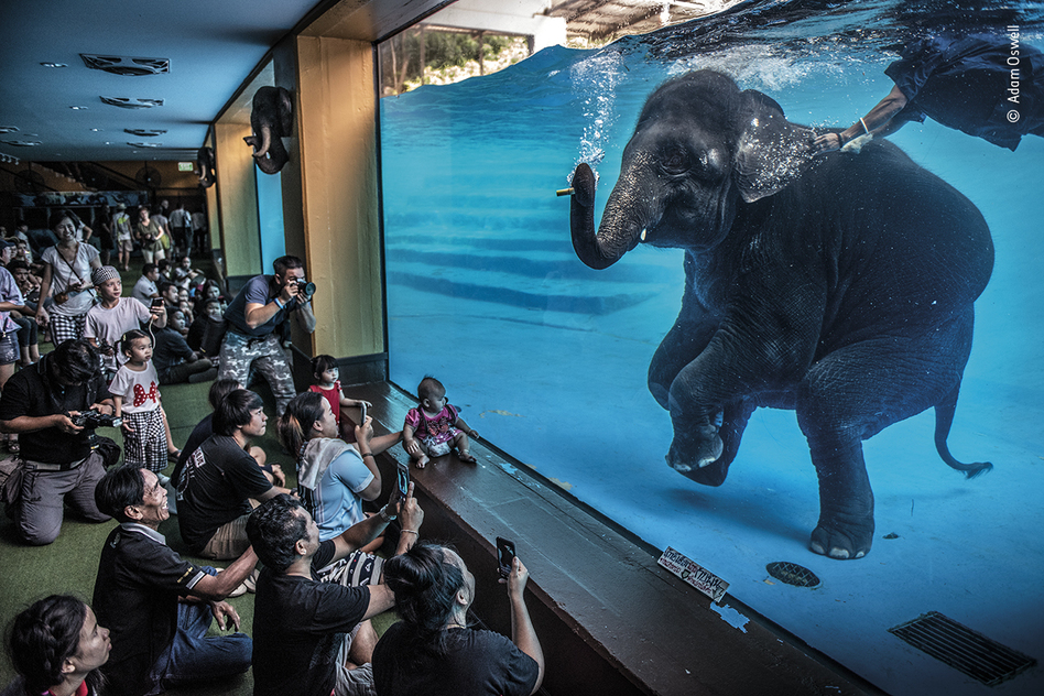 Elephant in the room, by Adam Oswell, Australia, winner, category: photojournalism. Oswell draws attention to zoo visitors watching a young elephant perform underwater.