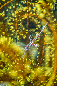 Bedazzled, by Alex Mustard, U.K., winner, category: natural artistry. Mustard found a ghost pipefish hiding among the arms of a feather star. Mustard had always wanted to capture such an image of a juvenile ghost pipefish but usually found only darker adults on matching feather stars.