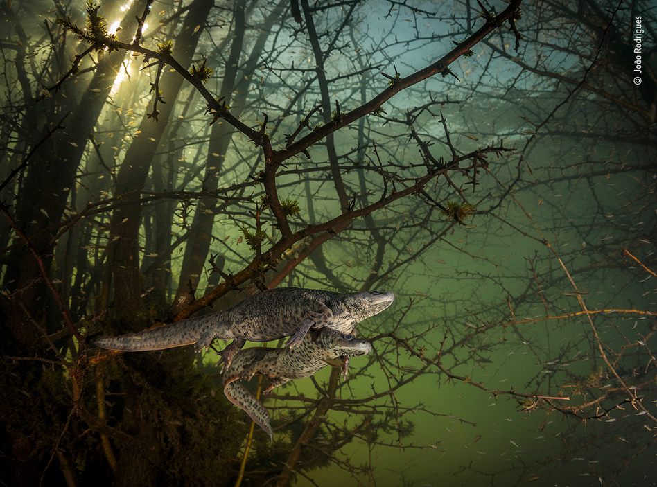 Where the giant newts breed, by João Rodrigues, Portugal, winner, behaviour: amphibians and reptiles category. Rodrigues was surprised by a pair of courting sharp-ribbed salamanders in this flooded forest. It was Rodrigues' first chance in five years to dive into this lake, as it emerges only in winters of exceptionally heavy rainfall, when underground rivers overflow.