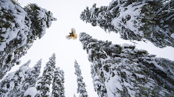 High-flying jay by Lasse Kurkela, Finland, Winner, 15-17 Years. Lasse Kurkela watches a Siberian jay fly to the top of a spruce tree to stash its food. Kurkela wanted to give a sense of scale in his photograph of the Siberian jay, tiny among the old-growth spruce-dominated forest. He used pieces of cheese to get the jays accustomed to his remotely controlled camera.