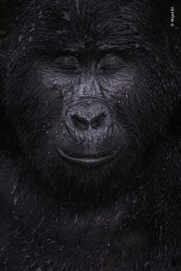 Reflection, by Majed Ali, Kuwait, winner, category: animal portraits. Ali glimpsed the moment a mountain gorilla closed its eyes in the rain. Ali trekked for four hours to meet Kibande, an almost-40-year-old mountain gorilla.