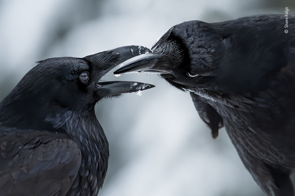 The intimate touch, by Shane Kalyn, Canada, winner, behaviour: birds category. Kalyn watched a raven courtship display. It was midwinter, the start of the ravens' breeding season. Kalyn lay on the frozen ground and used the muted light to capture the ravens' iridescent plumage against the contrasting snow to reveal this intimate moment when their thick black bills came together.