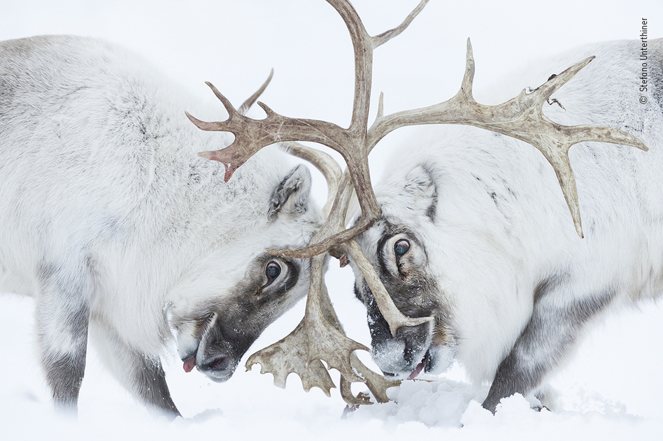 Head to head, by Stefano Unterthiner, Italy, winner, behaviour: mammals category. Unterthiner watched two Svalbard reindeer battle for control of a harem. Unterthiner followed these reindeer during the rutting season. Watching the fight, he felt immersed in