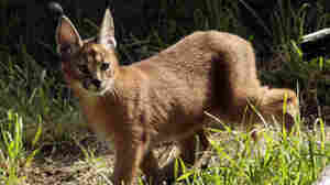 Large African cat escapes its owner and prowls a Detroit suburb