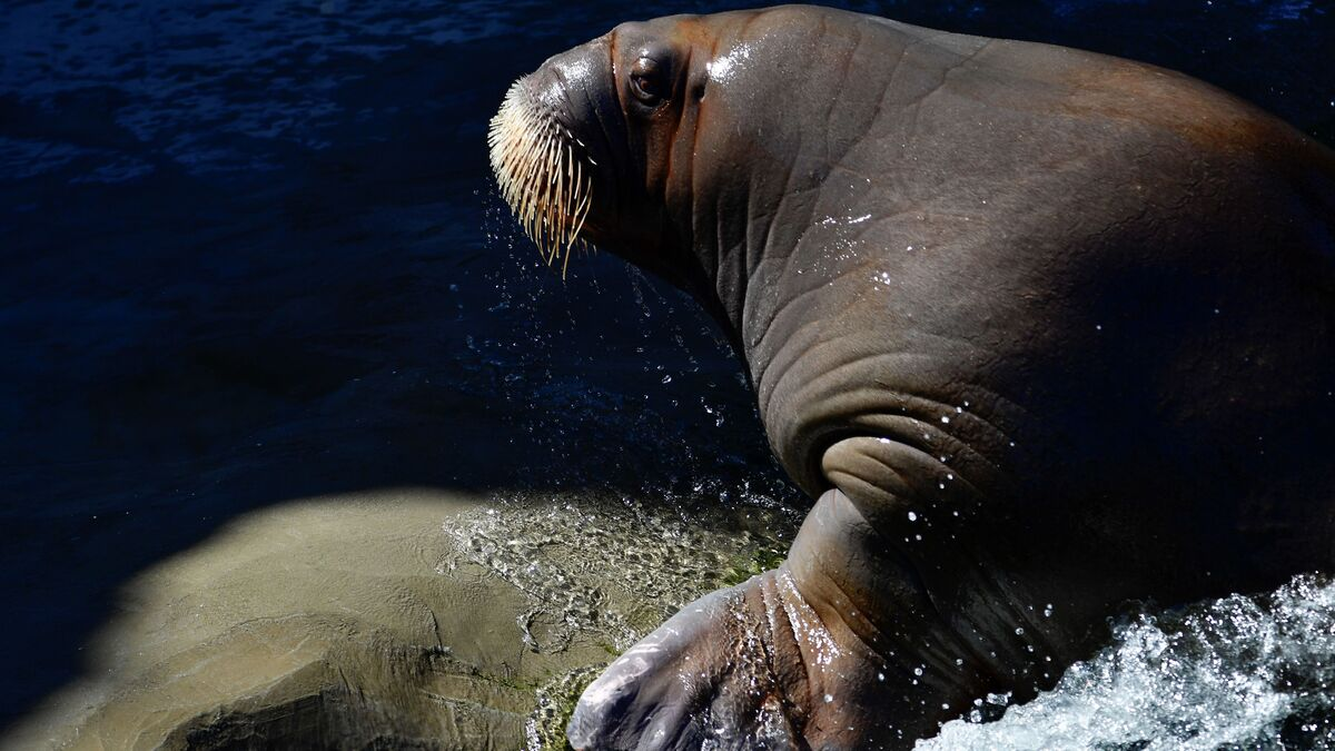 """WWF's Walrus From Space project is looking for volunteer """"walrus detectives"""": NPR"""