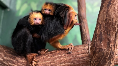 Twin golden-headed lion tamarins born at Smithsonian's National Zoo