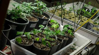 Senate Democrats cut bill provision that kept D.C. from legalizing marijuana sales