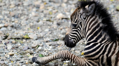 Behind the zebra escape is exotic animal breeding business with dozens of violations