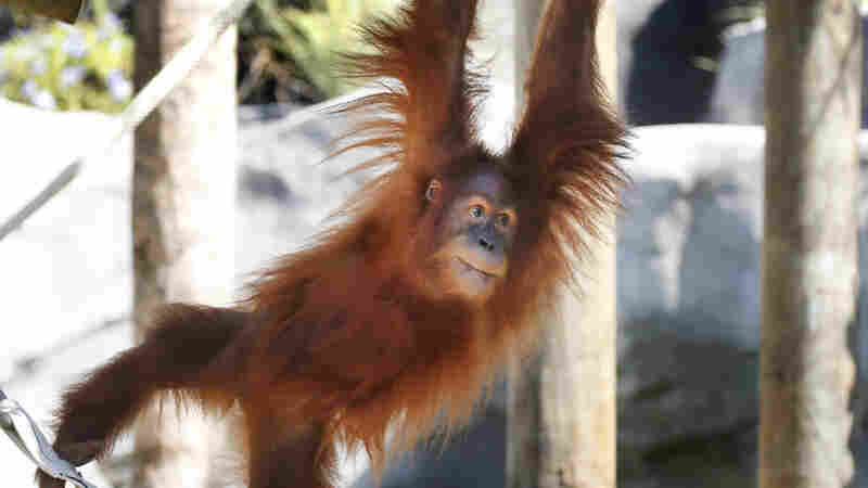 An endangered Sumatran orangutan at the New Orleans zoo is expecting twins