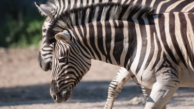 Escaped zebra owner charged with animal cruelty amid another alleged zebra death
