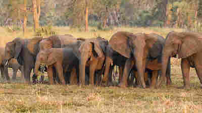 Elephants have evolved to be tuskless because of ivory poaching, a study finds
