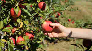 The problem with apple-picking