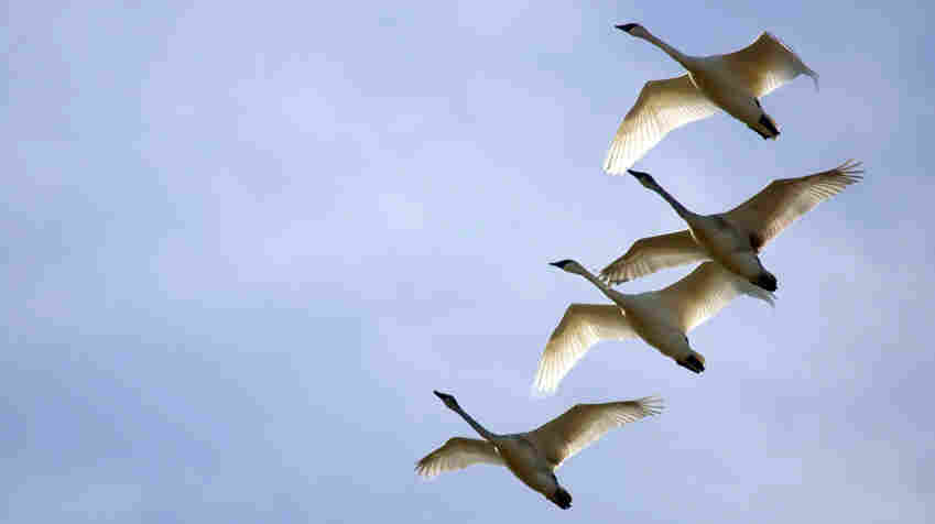 """In his diary, Sibelius noted the inspiration for the grand theme in his Fifth Symphony: """"Today I saw 16 swans. God, what beauty! They circled over me for a long time. Disappeared into the solar haze like a silver ribbon."""""""