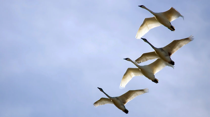 Sibelius' 5th Symphony: A Song For Swans