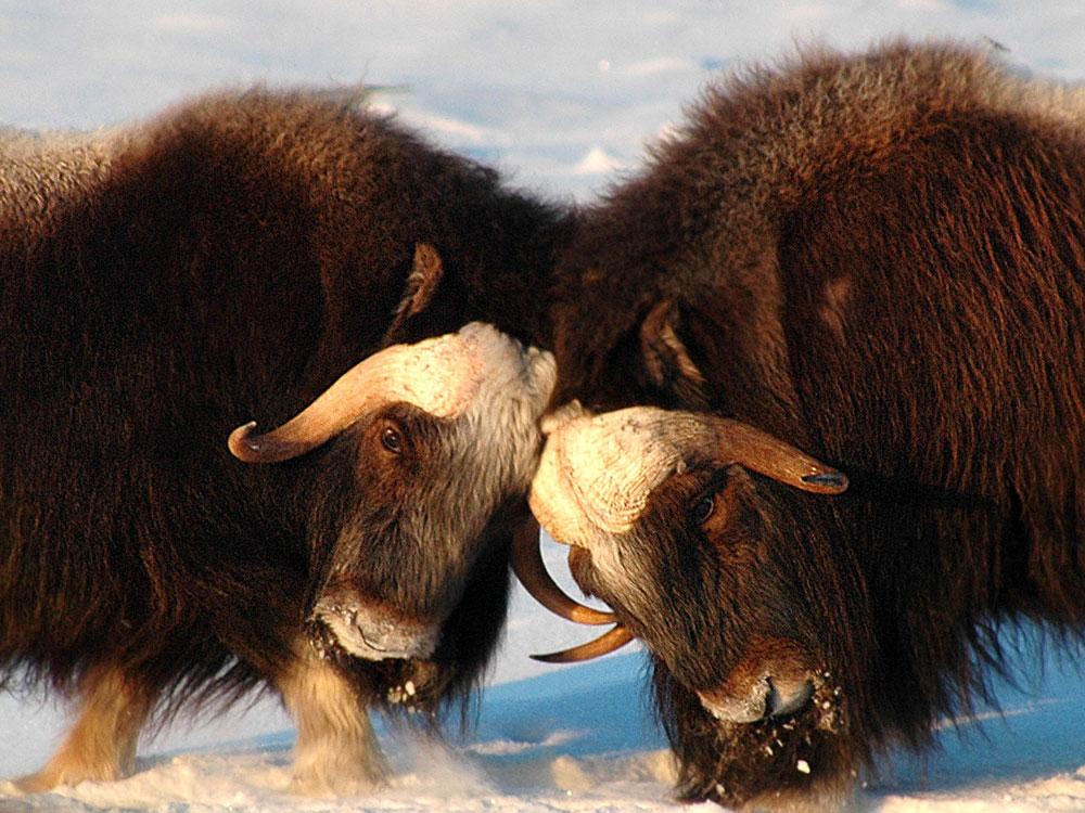 Musk oxen butt heads near Nome, Alaska