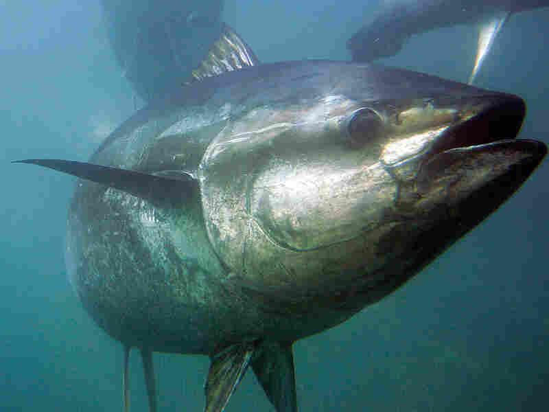 A bluefin tuna