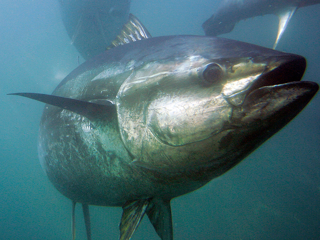 According to the study, bluefin tuna like these are among the most overfished creatures in the ocean. (AP)