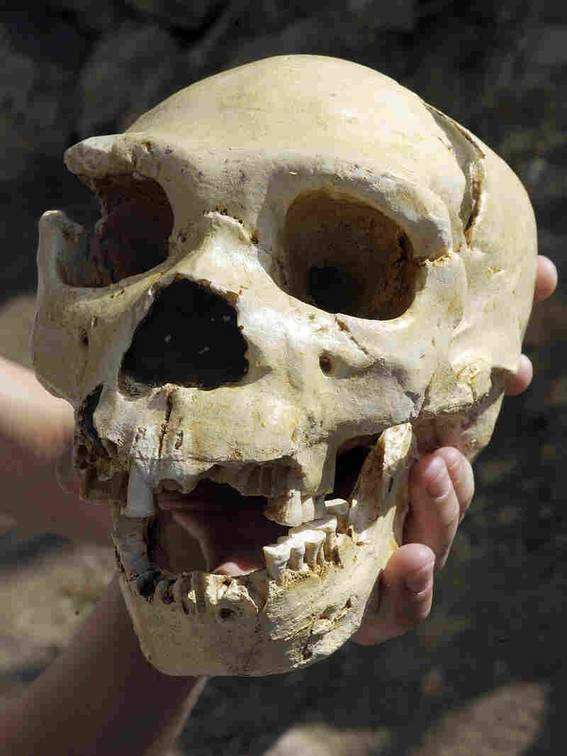 This skull, named Miguelon, is estimated to be 400,000 years old and was uncovered at Atapuerca.