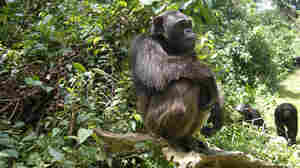 Chimpanzees in Cameroon's Mfou National Park.