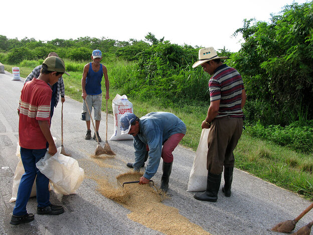 In Cuba's Camaguey province, rice farmer Roberto Barada Perez (center) dries his crop on the main road. Barada, 44, got two parcels of land totaling 65 acres under a new program to redistribute state-owned land on the communist island to private farmers.