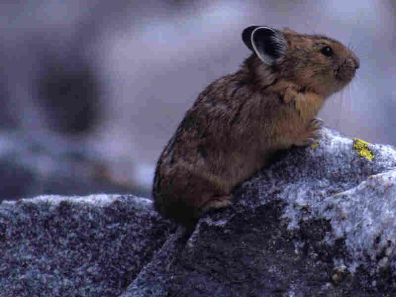 A pika at Grand Teton National Park.