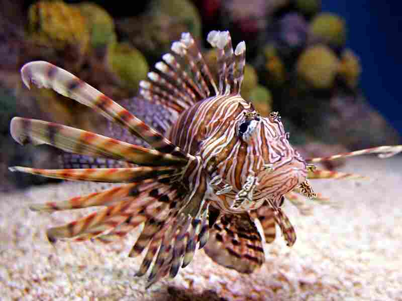 The spiny, venomous lionfish. Michael Dwyer/AP