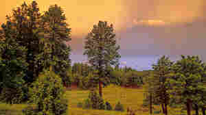 Ponderosa Pines (wide)