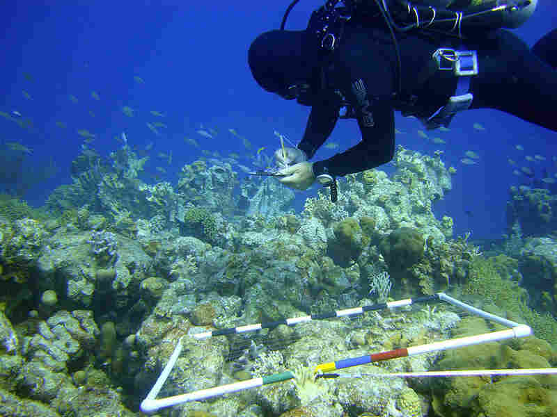 Ramon deLeon, manager or Bonaire National Marine Park, surveys a section of coral.
