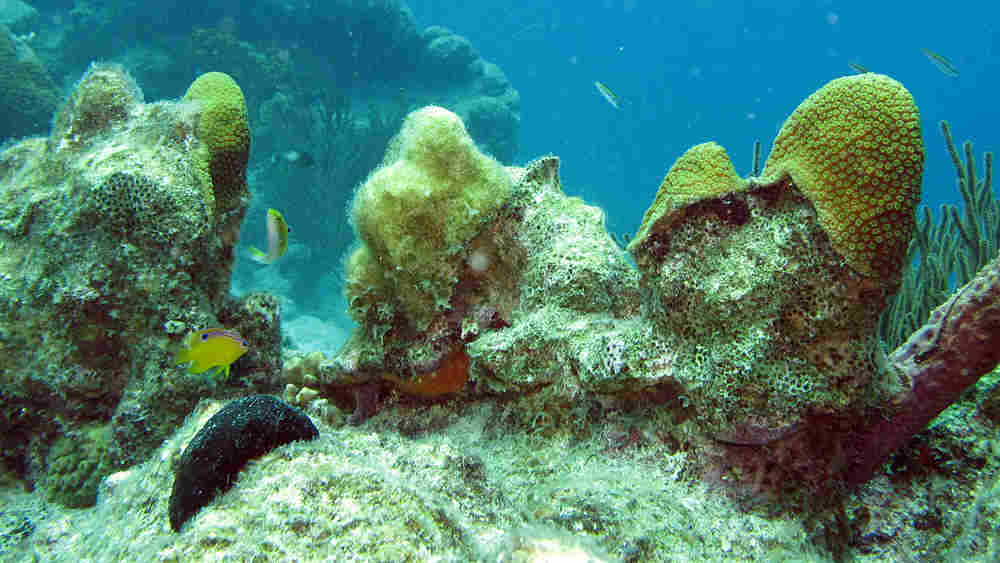 A longfin damselfish patrols its algae garden.