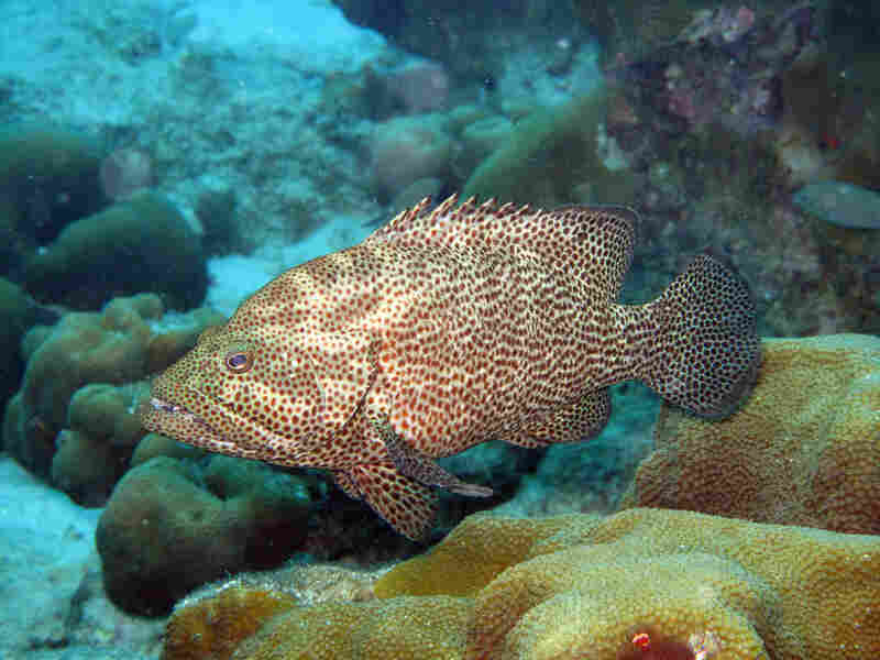 Graysbys, like this one, normally prey on damselfish and help keep their populations in check.