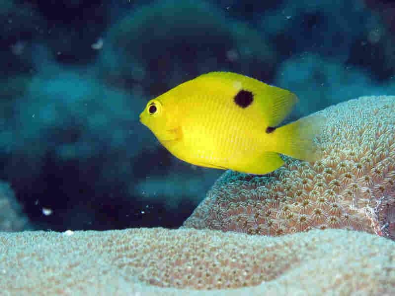 A three-spot damselfish.