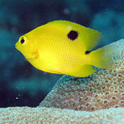 A three-spot damselfish.