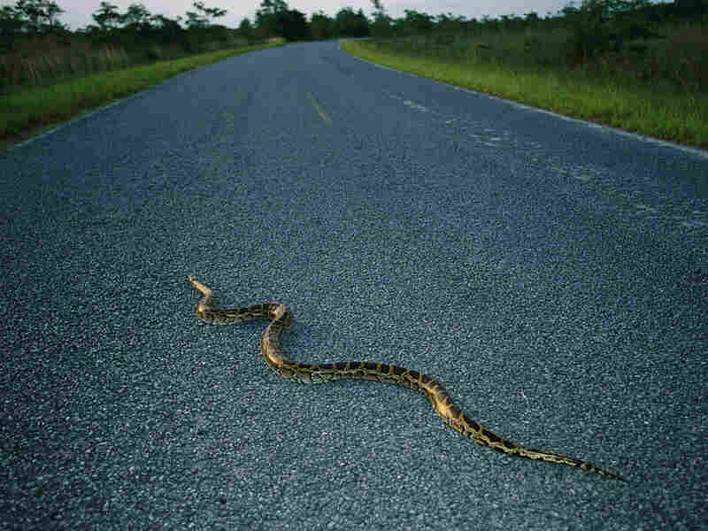 A Burmese python abandoned by its owner crosses a road in Florida.