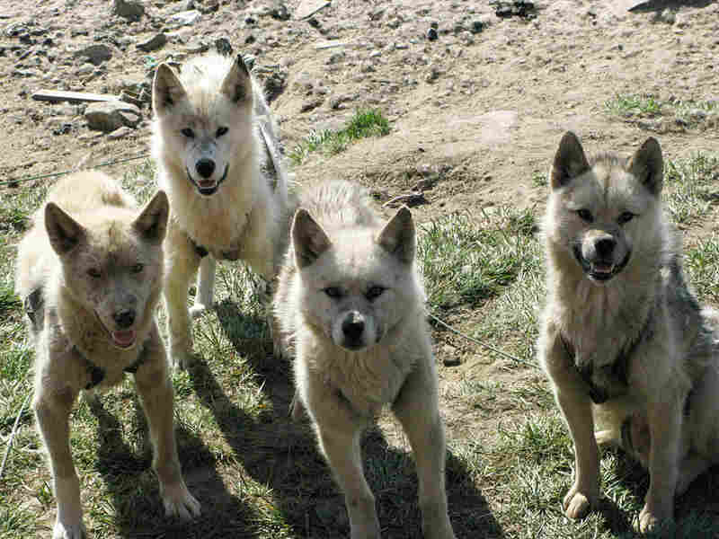 Arctic sled dogs.