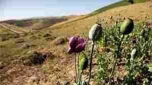 An illegal crop of poppies in Afghanistan. Julie Jacobson/AP