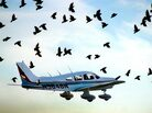 A flock of birds take off with a plane. Vasiliy Baziuk/The Daily Messenger