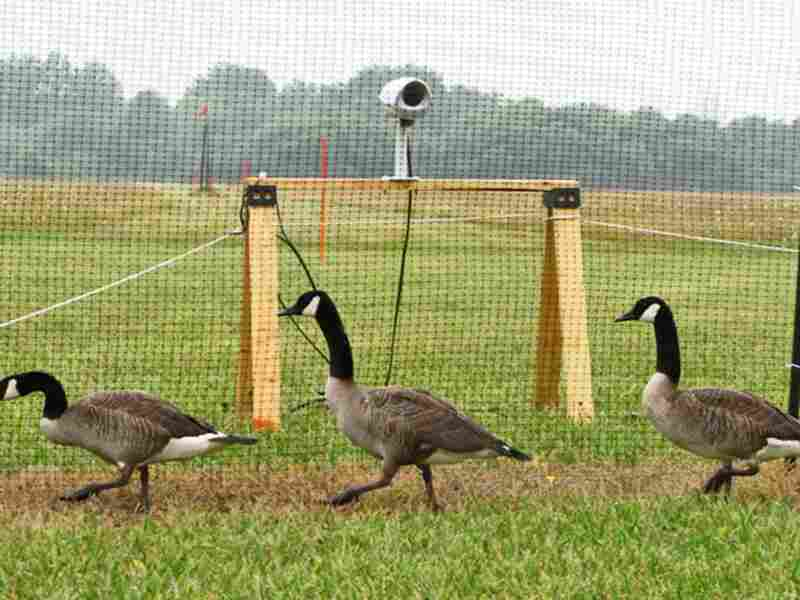 Geese walk past one of several cameras. Robert Benincasa/NPR