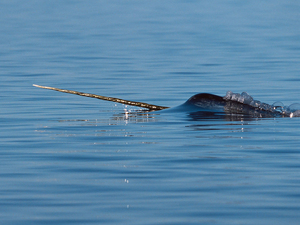 A male narwhal surfaces.