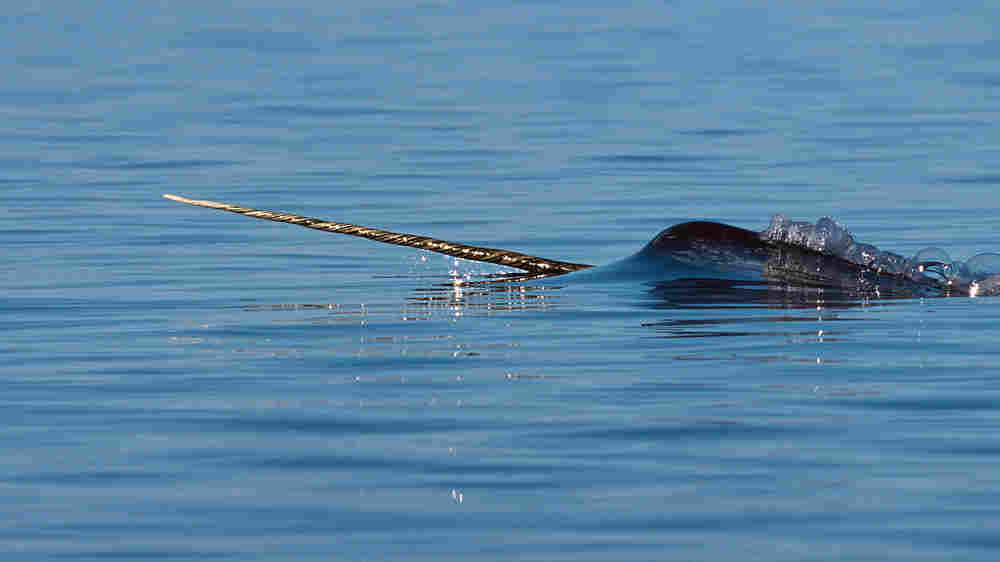 wide: A male narwhal surfaces.