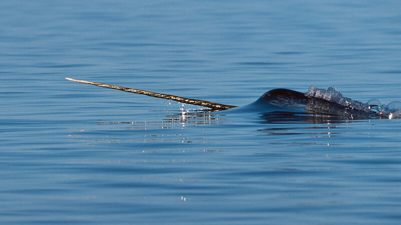 chasing after the elusive narwhal npr