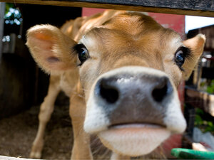 A close-up view of a diary cow pushing her face toward the camera.