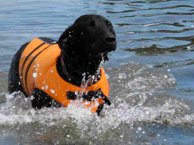 Lucy, the black Labrador, stays afloat in her life jacket