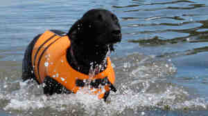 With her life jacket securely fastened, Lucy the black Labrador retriever plays in the water.