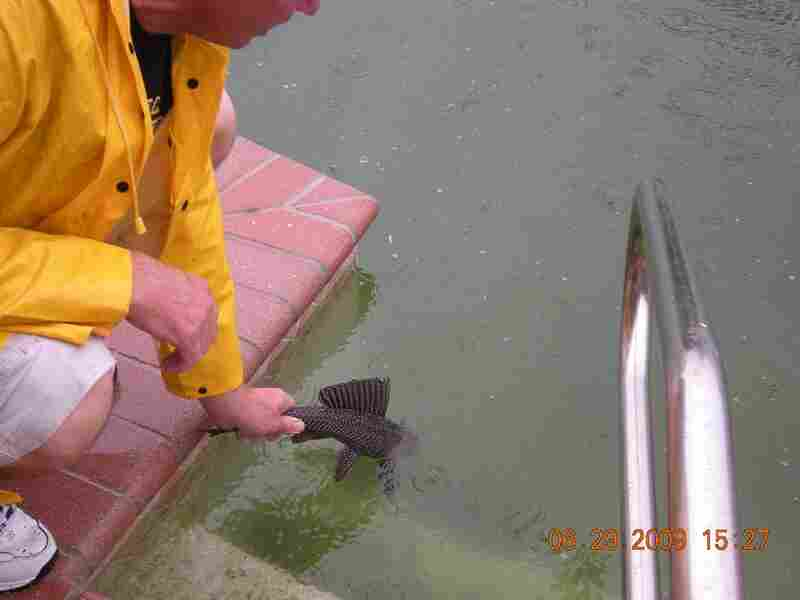 Releasing a pleco into a pool. Courtesy village of Wellington