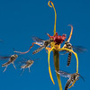 The perfume from an Australian king spider orchid attracts several male wasps.